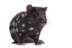 Quoll isolated on white Royalty Free Stock Photography