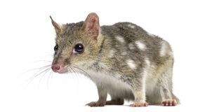 Quoll isolated on white Stock Photography