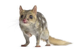 Quoll isolated on white Royalty Free Stock Images