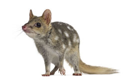 Quoll isolated on white Royalty Free Stock Photo