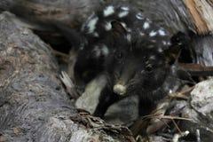 Quoll manchado Tasmânia animal Austrália foto de stock royalty free