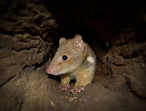 Quoll Moving Through Log Royalty Free Stock Image