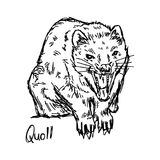 Quoll - vector illustration sketch hand drawn with black lines, Royalty Free Stock Photography