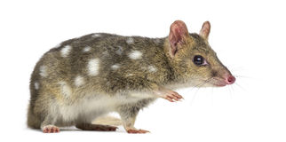 Quoll walking, isolated on white royalty free stock image