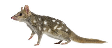 Quoll walking,isolated on white stock photography