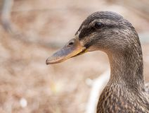 Quoth the Waterfowl: Quack. Up close and detailed portrait of a brown and black duck royalty free stock photos