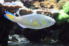 Quoyi parrotfish Stock Photos