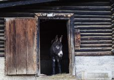 Qute dounkey. A donkey at the exit of the barn looks at what is happening in the courtyard in front Stock Photography