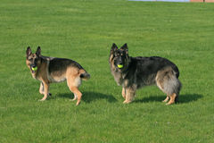 two german Shepherds with balls Royalty Free Stock Photography