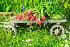 Rábano en los carros de madera, recién cosechados Foto de archivo libre de regalías