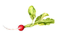 Rábano rojo con las hojas Fotos de archivo