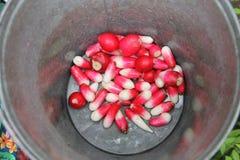 Rábano rojo y blanco jugoso delicioso en un cubo del hierro Imagenes de archivo