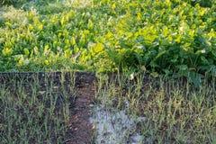 Rábano y espinaca de la cebolla que crecen en jardín fotos de archivo