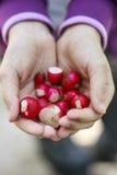 Rábanos rojos en manos del niño Fotos de archivo