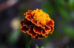 Ráfaga de la flor del fuego imagen de archivo