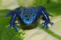 Râ azul do dardo do veneno em uma folha Foto de Stock
