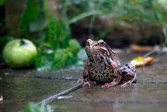 Râ Chuva Chuva do verão no jardim A rã está sentando-se foto de stock