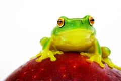 Râ de árvore verde que senta-se na maçã Fotos de Stock