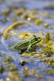 Râ do lago - ridibundus de Pelophylax (ridibunda de Rana) Foto de Stock Royalty Free