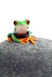 Râ que senta-se na rocha isolada no branco Fotografia de Stock