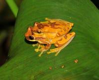 Râ, râs de árvore de acoplamento do hourglass, Costa-Rica foto de stock royalty free