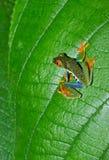 Râ verde eyed vermelha da folha da árvore, Costa-Rica Imagem de Stock