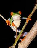 Râ verde eyed vermelha da folha da árvore, Costa-Rica Fotos de Stock Royalty Free
