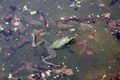 Râ verde na água Imagem de Stock Royalty Free