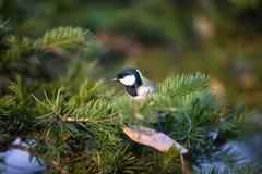 Râle des genêts d'oiseau Photo libre de droits