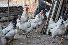 Różnorodni bezpłatni pasmo kurczaki fotografia stock