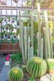 Różnorodny wysoki i krótki kaktus w szklarni obrazy stock