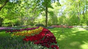 różowi czerwoni tulipany zbiory