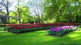 różowi czerwoni tulipany zdjęcie wideo