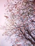 Różowi Prunus cerasoides Sakura Tajlandia zdjęcia royalty free