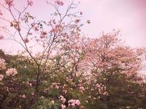Różowi Prunus cerasoides Sakura Tajlandia zdjęcia stock