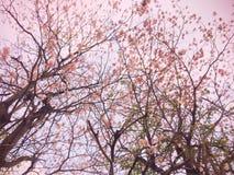 Różowi Prunus cerasoides Sakura Tajlandia fotografia royalty free