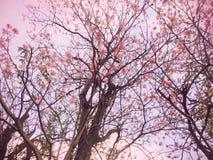 Różowi Prunus cerasoides Sakura Tajlandia obrazy royalty free