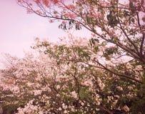 Różowi Prunus cerasoides Sakura Tajlandia zdjęcie stock