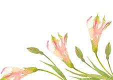 Różowy Alstroemeria Cultivar Kartka z pozdrowieniami z kwitnienie kwiatami Peruwiańska leluja beak dekoracyjnego latającego ilust ilustracja wektor