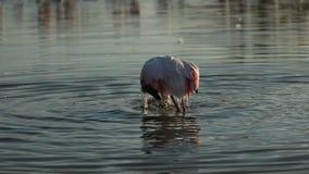 Różowy flaming na jeziorze, phoenicopterus, piękny biały różowawy ptak w stawie, nadwodny ptak w swój środowisku, Afryka, przyrod zbiory
