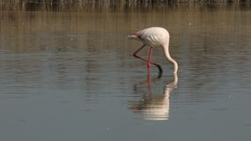 Różowy flaming na jeziorze, phoenicopterus, piękny biały różowawy ptak w stawie, nadwodny ptak w swój środowisku, Afryka, przyrod zdjęcie wideo