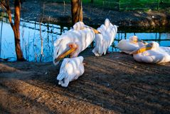 Różowy pelikana Pelecanus onocrotalus obrazy stock