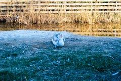 Różowy pelikana Pelecanus onocrotalus obraz stock