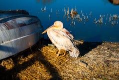 Różowy pelikana Pelecanus onocrotalus zdjęcia stock