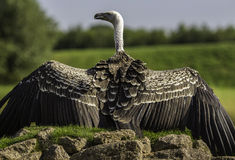Rüppell's Griffon vulture with outstreched wings Stock Photo