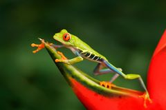 Rã bonita que anda na flor vermelha, habitat da natureza Cena dos animais selvagens da ação da natureza de Costa Rica Rã de árvor Foto de Stock Royalty Free