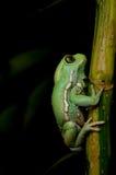 Rã ceroso do macaco (sauvagii do phyllomedusa) Fotos de Stock