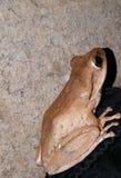 Rã comum Rhocoprus Leuconysax de Bush imagens de stock royalty free