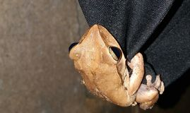 Rã comum Rhocoprus Leuconysax de Bush imagem de stock