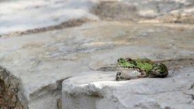 Rã comum, sentando-se na borda e no salto da lagoa do jardim Imagens de Stock